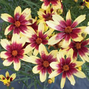 Coreopsis X Satin & Lace™ 'Red Chiffon'-#2 Container<br/>Satin & Lace™ Red Chiffon Tickseed