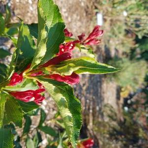 Weigela X 'Maroon Swoon'-#3 Container<br/>Maroon Swoon Weigela