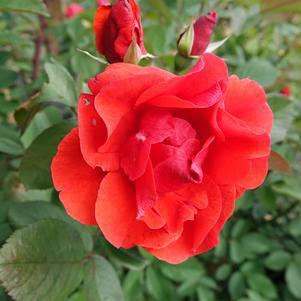 Rosa Morden's 'Fireglow'-#3 Container<br/>Fireglow Rose