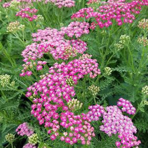 Achillea millefolium Rainbow™ 'Summerwine'-8`` Container<br/>Rainbow™ Summer Wine Yarrow