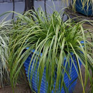 Carex Evercolor® 'Everlime'-8`` Container<br/>Everlime Japanese Sedge