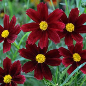 Coreopsis X Lil Bang 'Red Elf'-8`` Container<br/>Lil Bang Red Elf Tickseed