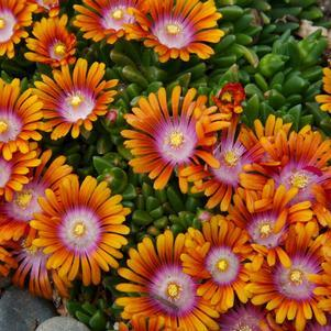 Delosperma X 'Fire Spinner&#174;'-8`` Container<br/>Fire Spinner&#174; Ice Plant