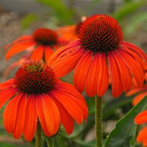 Echinacea purpurea Butterfly&#8482; 'Julia'-8`` Container<br/>Butterfly&#8482; Julia Coneflower