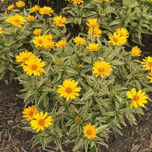 Heliopsis helianthoides 'Sunstruck'-8`` Container<br/>Sunstruck Ox Eye Sunflower