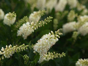 Clethra alnifolia Sugartina&#174; 'Crystalina'-#3 Container<br/>Sugartina&#174; Crystalina Summersweet