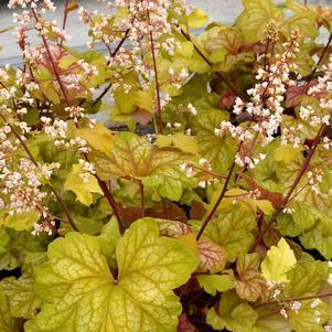 Heuchera 'Champagne'-8`` Container<br/>Champagne Coral Bells