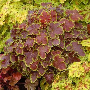Heucherella 'Solar Eclipse'-8`` Container<br/>Solar Eclipse Foamy Bells