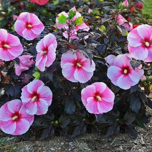 Hibiscus 'Starry Starry Night'-#3 Container<br/>Starry Starry Night Hibiscus
