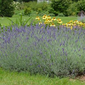Lavandula ang. 'Silver Mist'-8`` Container<br/>Silver Mist Lavander