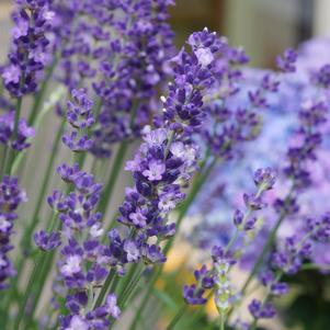 Lavandula ang. 'Big Time Blue'-8`` Container<br/>Big Time Blue Lavander