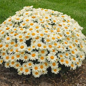 Leucanthemum 'Whoops-A-Daisy'-8`` Container<br/>Whoops-a-Daisy Shasta Daisy