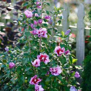 Rose of Sharon 'Purple Pillar®' - #2