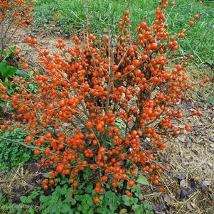 Holly-Winterberry 'Little Goblin® Orange' - 2 Gal.