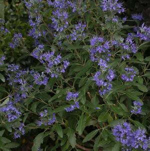 Caryopteris X clandonensis 'Beyond Midnight&#8482;'-#2 Container<br/>Beyond Midnight&#8482; Blue Mist Shrub
