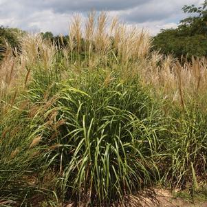 Miscanthus sinensi. 'My Fair Maiden'-#2 Container<br/>My Fair Maiden Maidengrass