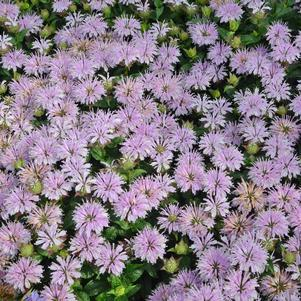 Monarda 'Leading Lady Lilac'-#1 Container<br/>Leading Lady Lilac Bee Balm