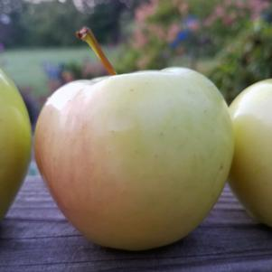 Malus 'Ginger Gold'-#7 Container<br/>Ginger Gold Apple