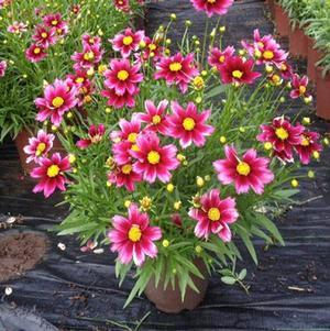 Coreopsis Little Bang™ 'Starstruck'-#1 Container<br/>Starstruck Tickseed