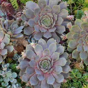 Sempervivum 'Pacific Blue Ice'-#1 Container<br/>Pacific Blue Ice Hens and Chicks