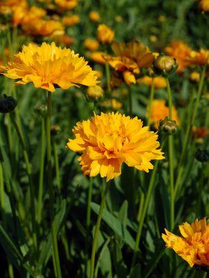 Coreopsis grandiflora 'Early Sunrise'-#2 Container<br/>Early Sunrise Tickseed