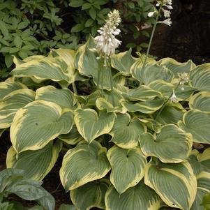 Hosta 'Earth Angel'-8`` Container<br/>Earth Angel Hosta