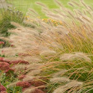 Pennisetum alopecuroides 'Desert Plains'-#1 Container<br/>Desert Plains Fountain Grass