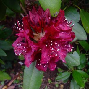 Rhododendron 'Dark Lord' - 2 Gal.