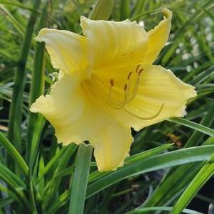 Hemerocallis 'Fragrant Returns'-8`` Container<br/>Fragrant Returns Daylily