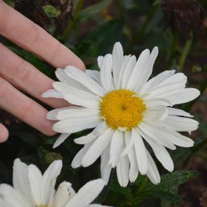 Leucanthemum 'Spoonful Of Sugar'-8`` Container<br/>Spoonful of Sugar Shasta Daisy