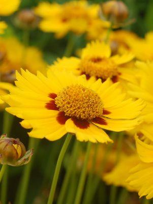 Coreopsis X 'Tequila Sunrise'-#1 Container<br/>Tequila Sunrise Tickseed