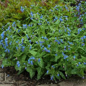 Pulmonaria saccharata 'Mrs. Moon'-#1 Container<br/>