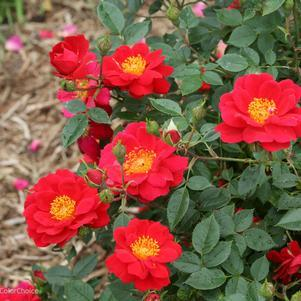 Rosa Oso Easy® 'Urban Legend'™-#2 Container<br/>Oso Easy Urban Legend Rose