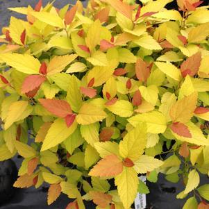 Spirea 'Double Play® Candy Corn™' - 3 Gal.