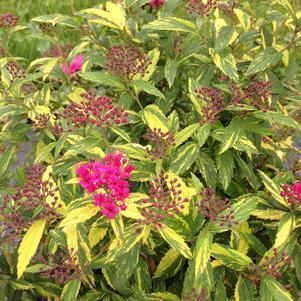 Spiraea Double Play 'Painted Lady'-#3 Container<br/>Double Play Painted Lady Spirea
