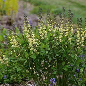 Baptisia Decadence&#174; 'Vanilla Cream'-#1 Container<br/>Vanilla Cream False Indigo