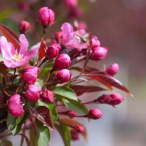 Malus 'Red Splendor'-#7 Container<br/>Red Splendor Apple