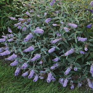 Buddleia Monarch&#174; 'Glass Slippers'-#3 Container<br/>Glass Slippers Butterfly Bush