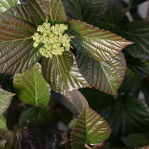 Viburnum X 'Shiny Dancer'-#3 Container<br/>Shiny Dancer Viburnum