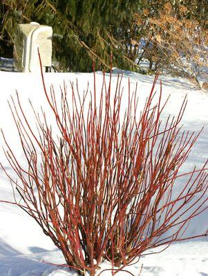 Cornus stolonifera 'Arctic Fire'-#5 Container<br/>Artic Fire Dogwood
