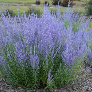 Russian Sage 'Blue Jean Baby' - 2 Gal.