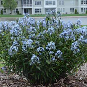 Amsonia tabernaemontana 'Storm Cloud'-#1 Container<br/>Storm Cloud Blue Ice Plant