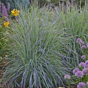Ornamental Grass-Little Bluestem 'Twilight Zone' - #2