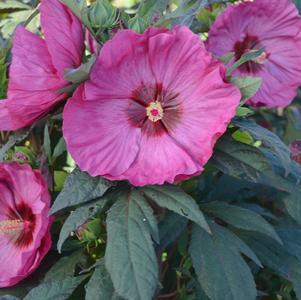 Hibiscus Summerific®'Berry Awesome'-#3 Container<br/>Summerific® Berry Awesome Hibiscus