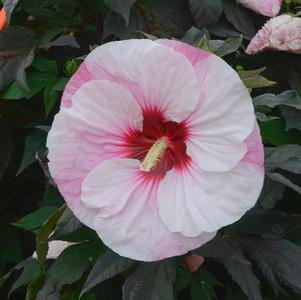 Hibiscus Summerific®'Perfect Storm'-#3 Container<br/>Summerific® Perfect Storm Hibiscus
