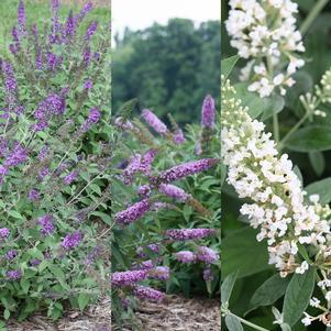 Buddleia 'Chip Medley'-#3 Container<br/>Chip Medley Butterfly Bush Mix