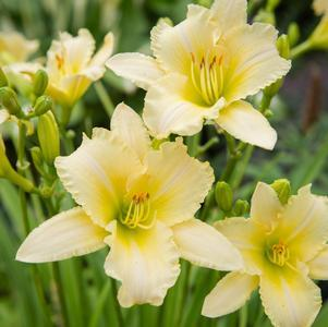 Daylily 'Never Ending® Butter Cream' - 8 In.