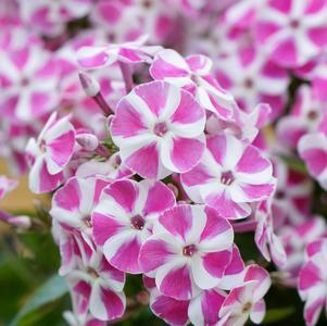 Phlox-Garden 'Bambini® Candy Crush' - 8 In.