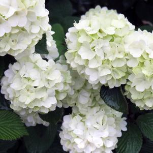 Viburnum - Doublefile 'Opening Day™' - 3 Gal.