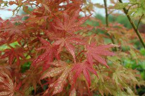 Acer palmatum 'Peaches & Cream'-#3 Container<br/>Peaches & Cream Japanese Maple